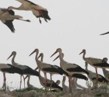 برنامج منح المجلس العالمي لحماية الطيور