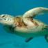 انقاذ سلحفاة بحرية معمرة علقت في شباك أحد الصيادين في صور