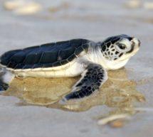 الحملة الوطنية للحفاظ على السلاحف البحرية