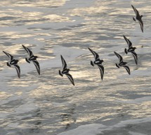 Seabirds are Indicator Species for Climate Change